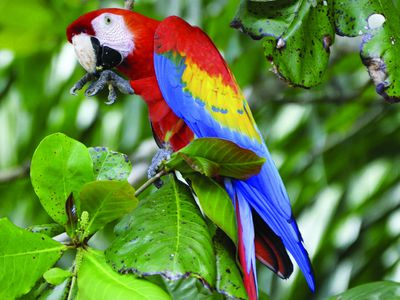 Costa Rica Ara Hellroter Ara