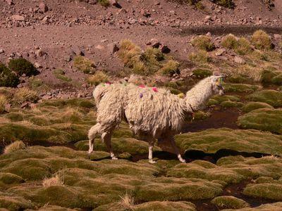 Chile Alpaka