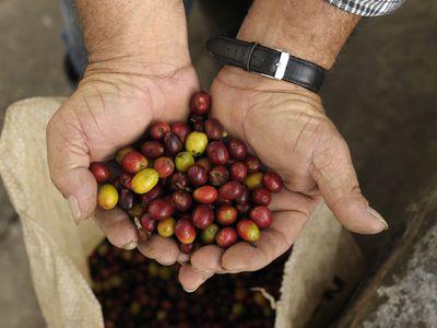 Kolumbien Kaffeezone frisch geerntete Kaffeebohnen