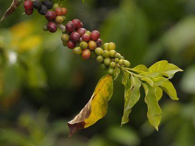 Kolumbien Kaffeepflanze