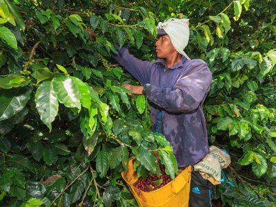 Kolumbien Kaffeezone Kaffeeernte
