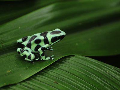 Costa Rica Tortuguero Frosch