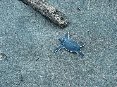 Costa Rica Tortuguero Schildkröte