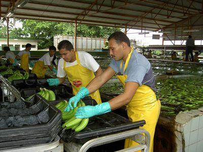 Costa Rica Bananenproduktion