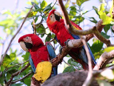 Brasilien Amazonas Papageien