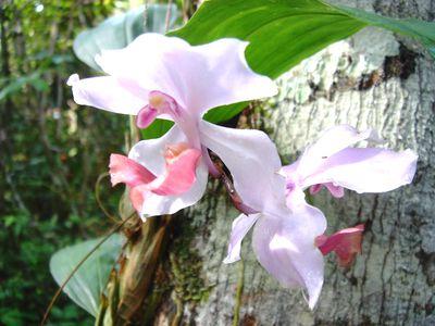 Brasilien Amazonas Blumen