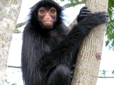 Brasilien Amazonas Affe