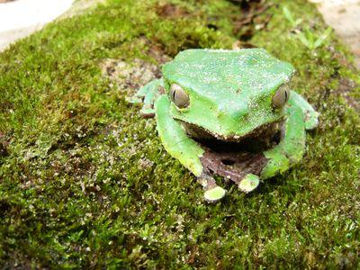 Brasilien Amazonas Frosch