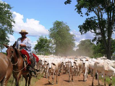 Brasilien Süd Pantanal Kuhherde