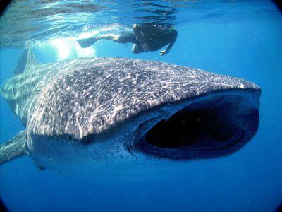 Mexiko Isla Holbox Walhai mit Taucher