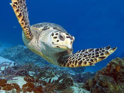 Mexiko Tulúm Schildkröte