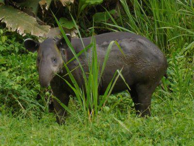Costa Rica Corcovado Tapir