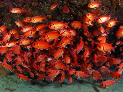 Kuba Tauchen Schweinebucht Fischschwarm