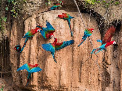 Peru Papageienleckstelle