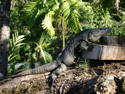 Costa Rica Tierwelt Iguana