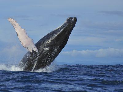 Walbeobachtung Nuqui Kulumbien