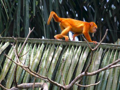 Costa-Rica-Cano-Negro-Affe