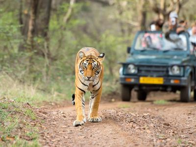 Indien Ranthambore Tiger Pirsch Raubkatze Safari