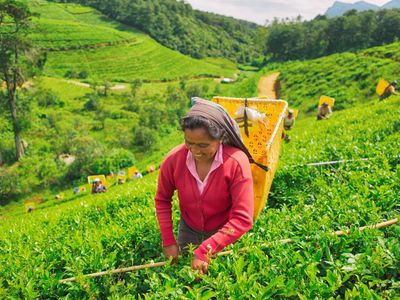 Sri Lanka Nuwara Eliya Tee Pflueckerin Plantage