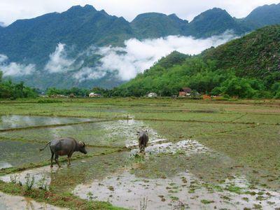 Vietnam Mai Chau Reisfeld Bueffel Spaziergang Wanderung