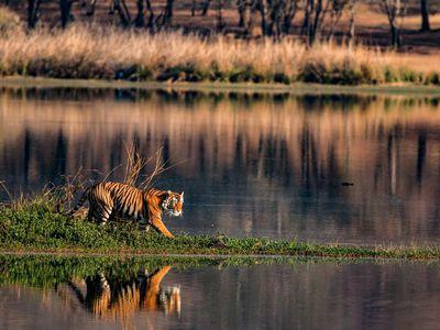 indien safari tiger