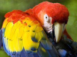 peru tambopata papagei