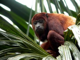 ecuador sacha lodge red howler monky
