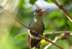 Brasilien Foz do Iguazu Kolibri