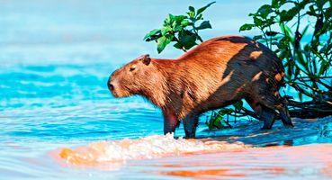 Brasilien pantanal capybara