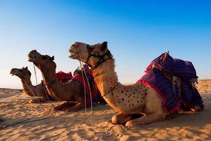 Indien Rajasthan Kamele Safari Reiten Wueste Tier suess